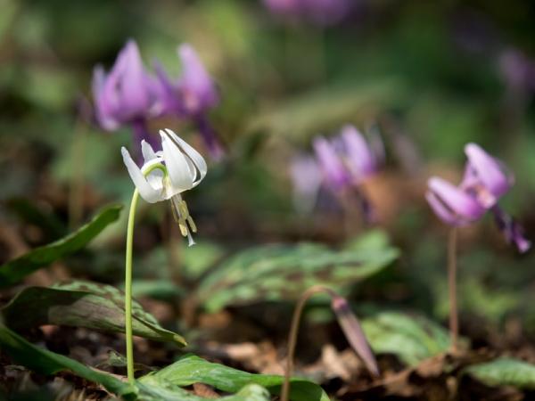 かたくりの花 F