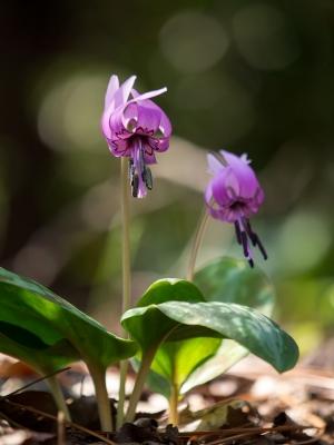 かたくりの花 E