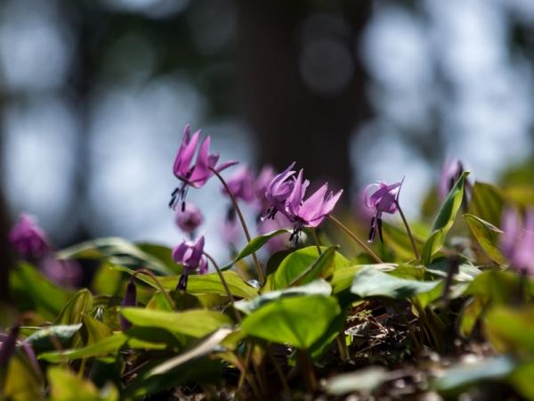 かたくりの花 A