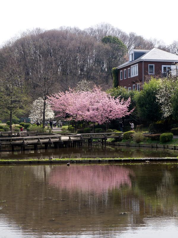 薬師池公園の桜 F