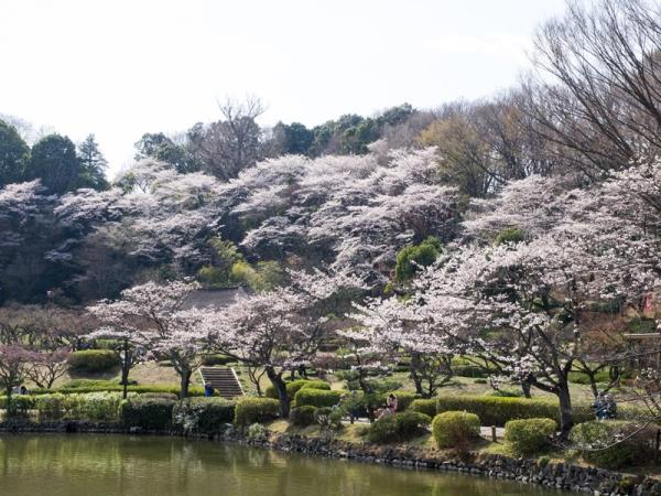 薬師池公園の桜 A