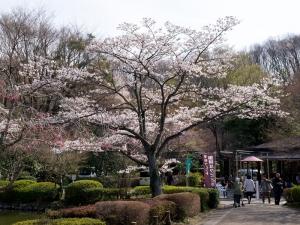 薬師池公園の桜 C