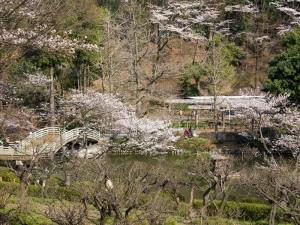 薬師池公園の桜 D
