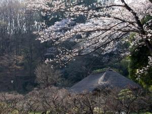 薬師池公園の桜 E