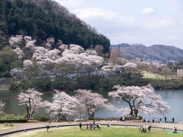津久井湖の桜 B