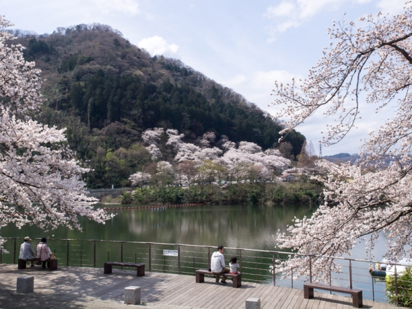 津久井湖の桜 C