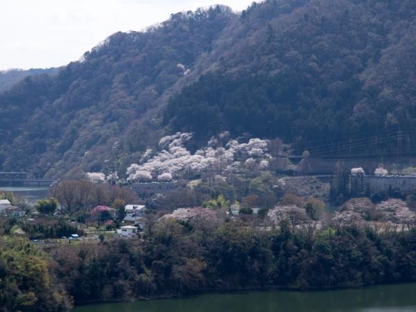 津久井湖の桜 A