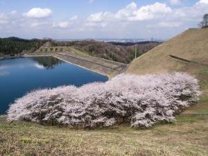 城山湖の桜 E