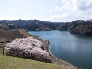 城山湖の桜 H