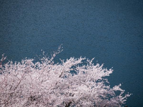 城山湖の桜 D