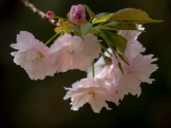新宿御苑の桜 A