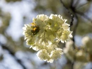 新宿御苑の桜 G