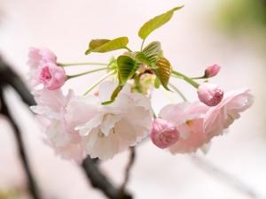 新宿御苑の桜 B