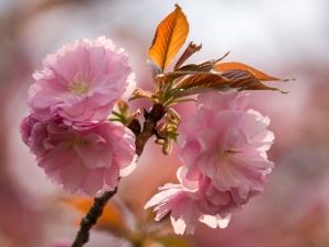 新宿御苑の桜 L