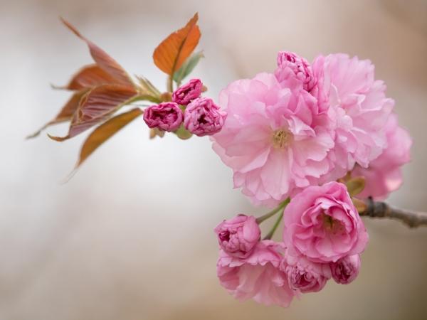新宿御苑の桜 K