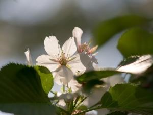 新宿御苑の桜 J