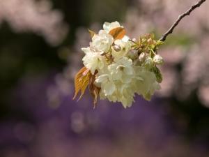 新宿御苑の桜 H
