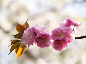 新宿御苑の桜 M