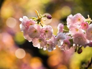新宿御苑の桜 C
