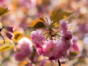 新宿御苑の桜 N
