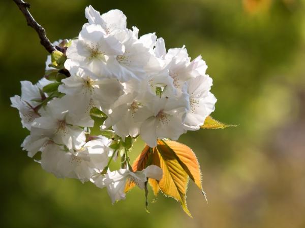 新宿御苑の桜 F