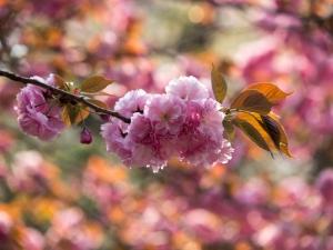 新宿御苑の桜 O