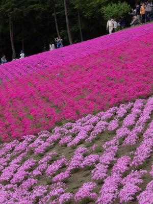 羊山公園の芝桜 H