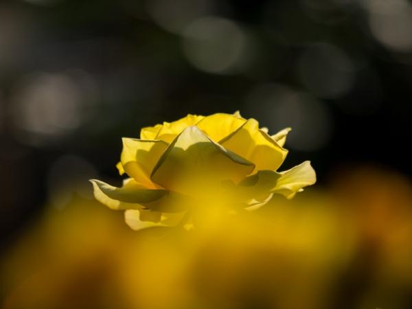 春バラ C