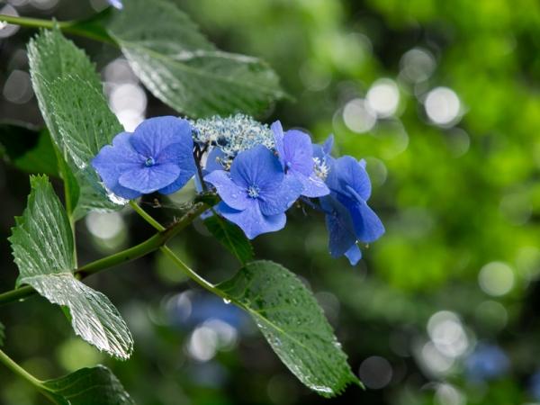 紫陽花 A