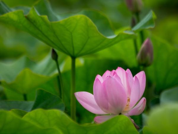 蓮の花 A