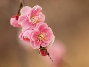 梅の花 B