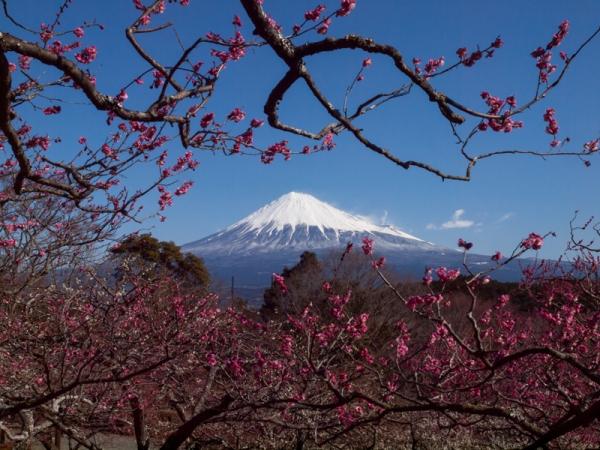 富士山と梅 D