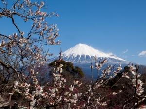 富士山と梅 C