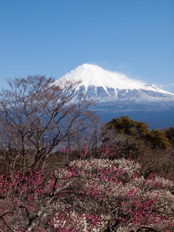 富士山と梅 A