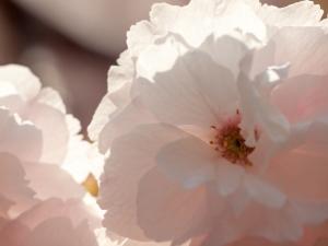 新宿御苑の桜 D