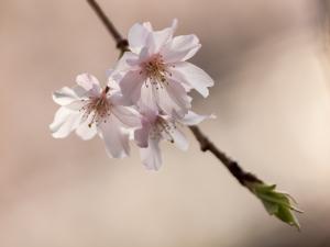 新宿御苑の桜 I