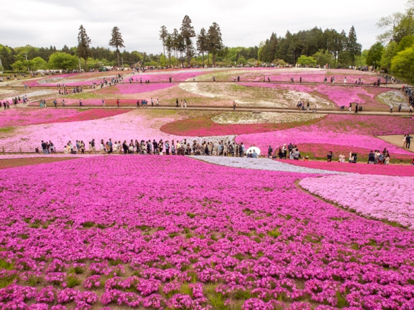 羊山公園の芝桜 G