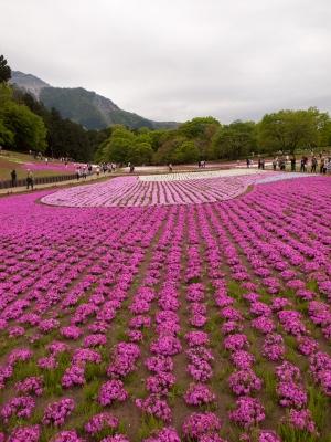 羊山公園の芝桜 I