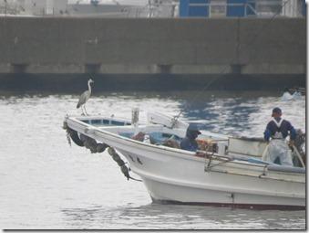 14062401 ①船のへさきで餌待ちしていたアオサギ