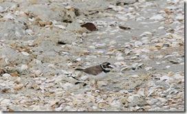 14062405 ⑤貝殻の多い海岸で見かけたコチドリ