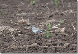 14062408 ⑧ハクセキレイ幼鳥