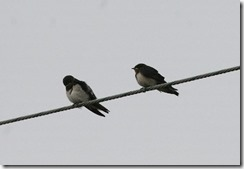 14062410 ⑩ツバメの幼鳥