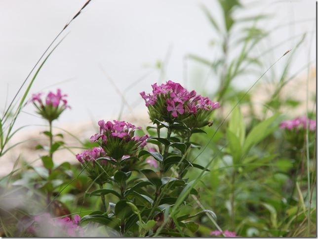 14071310 ハマナデシコの花