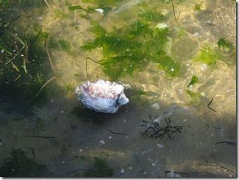 14072508 海岸で見たイカの死体