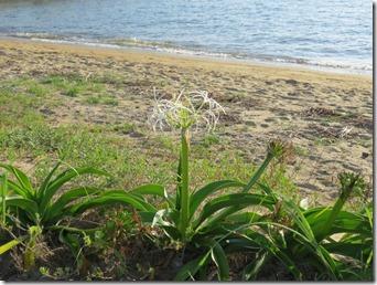 14072509 ハマオモトの花