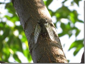 14072510 センダンの枝で鳴くクマゼミ
