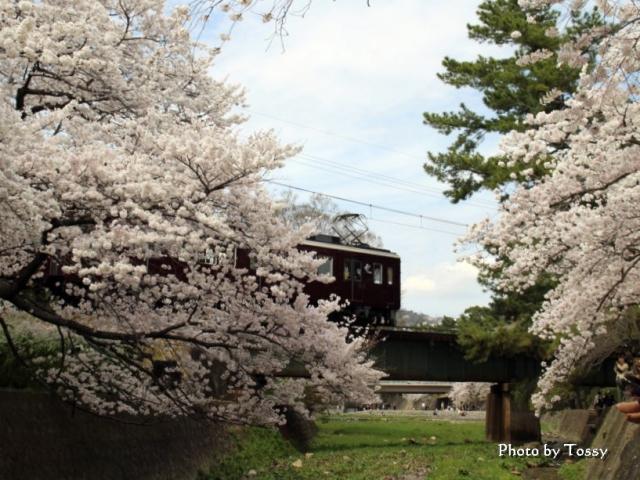 阪急電車と桜 甲陽園鉄橋