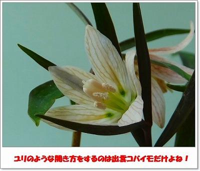 出雲コバイモH26年2月②―①