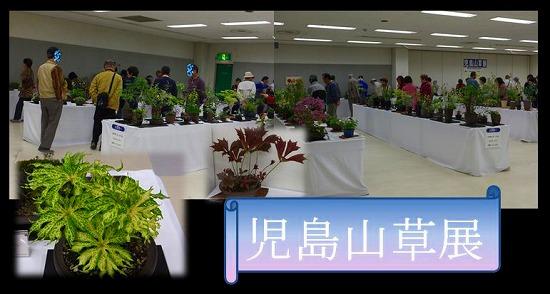 児島山草展H26年春