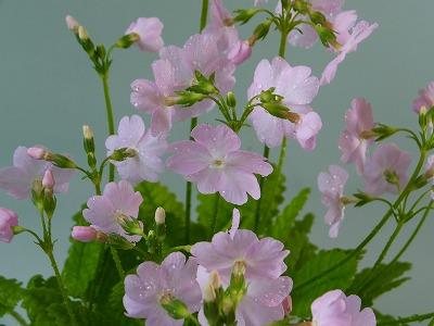 桜草H26年4月①